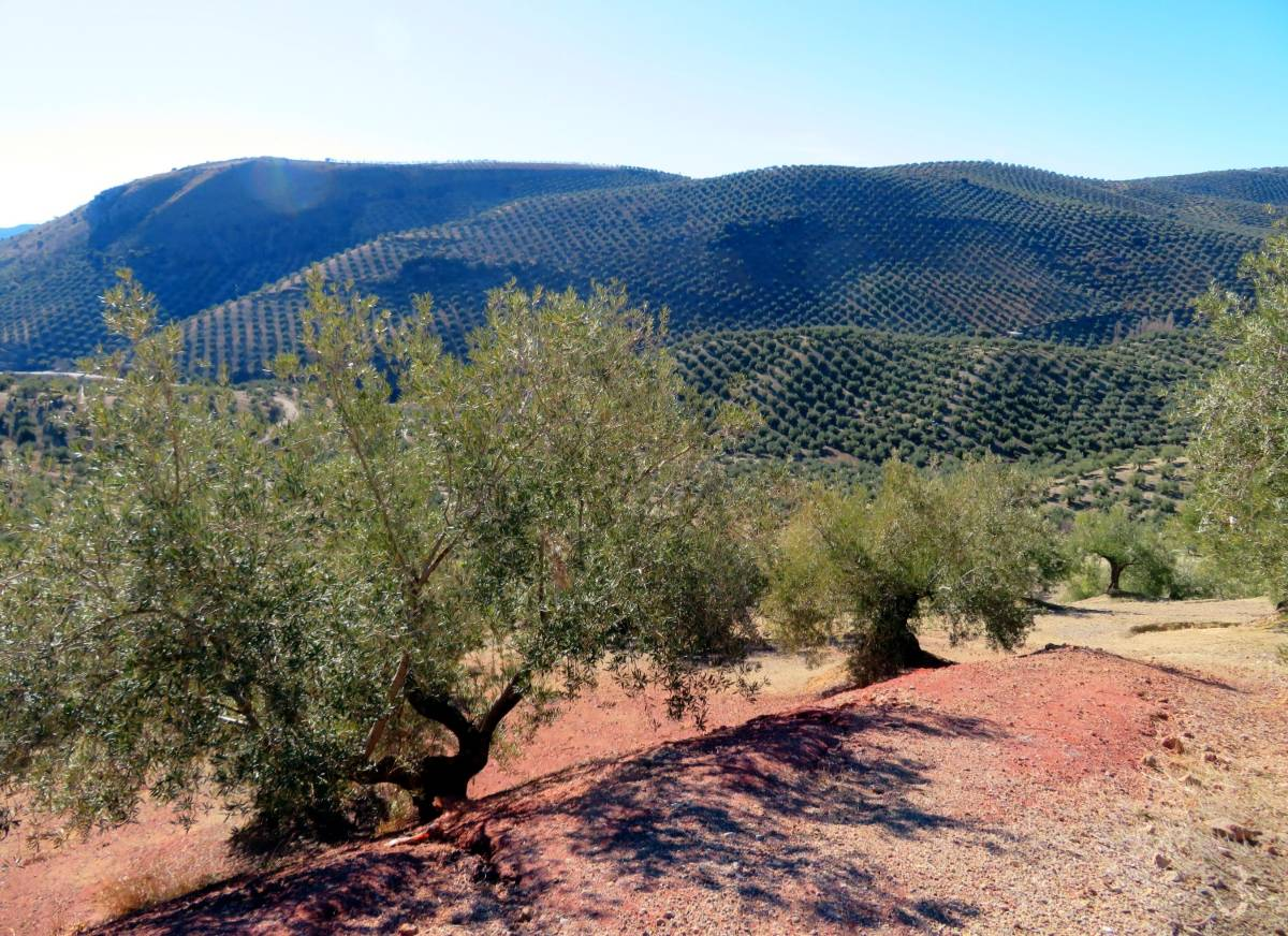 Andalusia is famous for its olive groves
