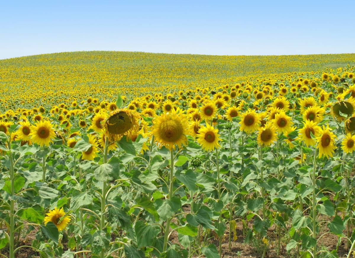 sunflower fields near Arcos de la Frontera