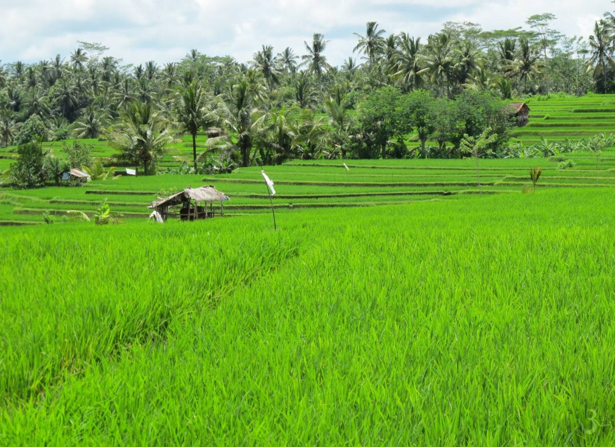 rice paddy of Keliki